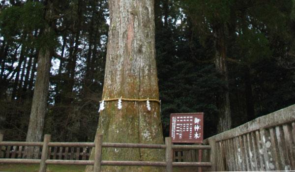 樹齢800年の、霧島神宮ご神木。キリシマメアサ