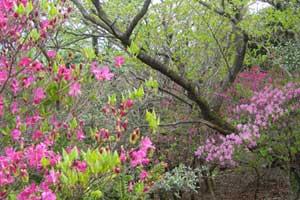 霧島連山のミツバツツジ