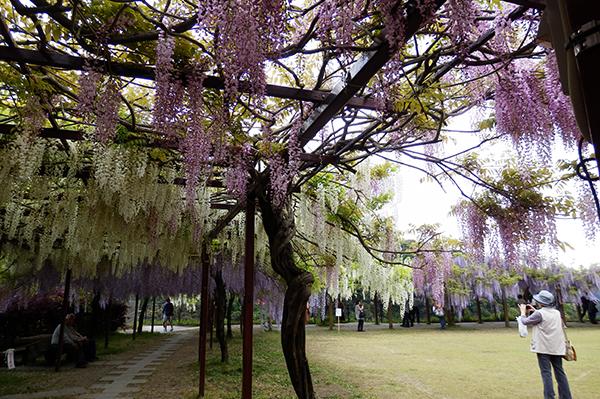 和気神社の藤の花