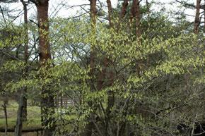 キリシマミズキの木