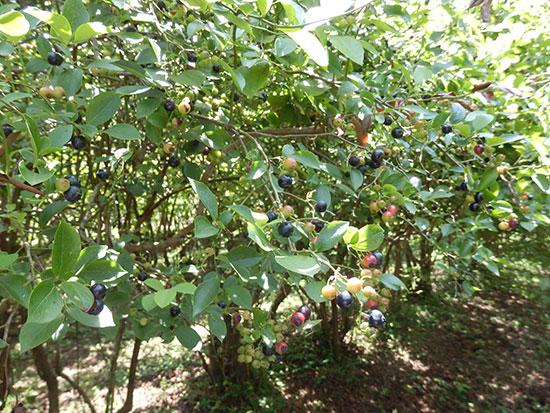 ひと粒ずつ熟していく、ブルーベリー果実
