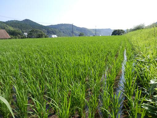 農業法人明るい農村 田植え後く2015