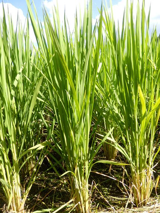 農業法人明るい農村 稲育っています2015