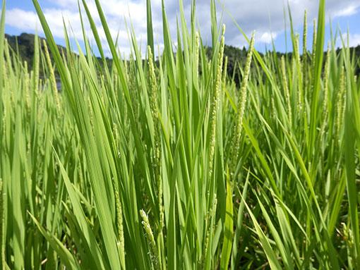 農業法人明るい農村 稲の花2015
