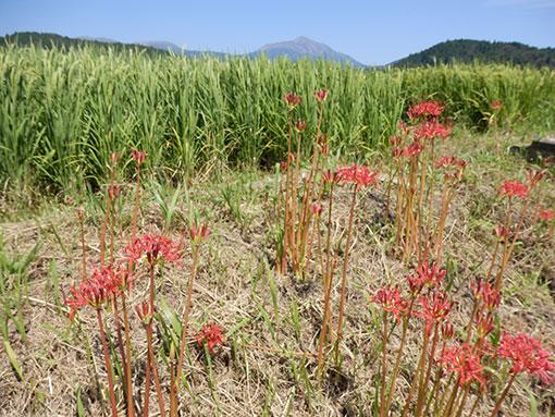 農業法人明るい農村 2015稲の穂垂れてきました