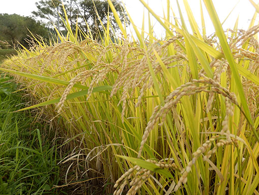 農業法人明るい農村 米の収穫2015