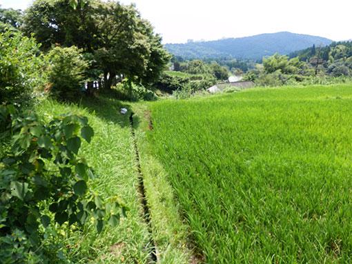 20160809 稲が成長