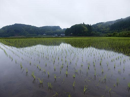 米づくり 田植え6月