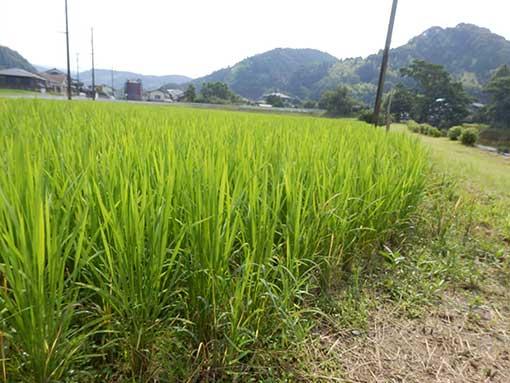 農業法人明るい農村 米作り