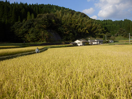 農業法人 米の収穫