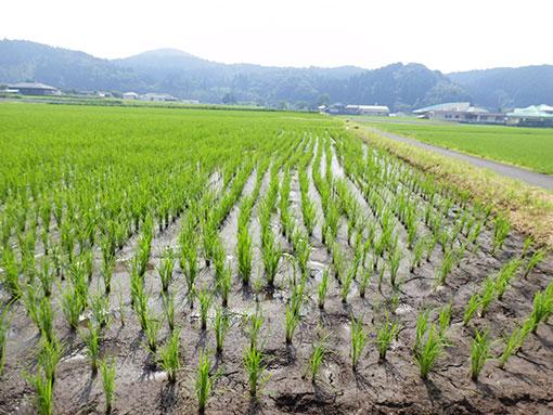 農業法人明るい農村 稲