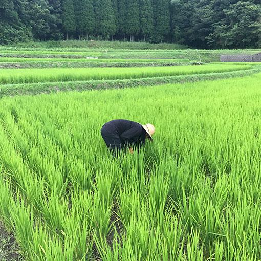 田んぼの雑草取り