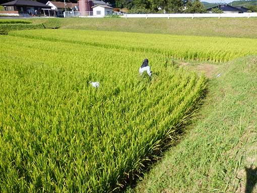 ヒエとり 農業法人明るい農村