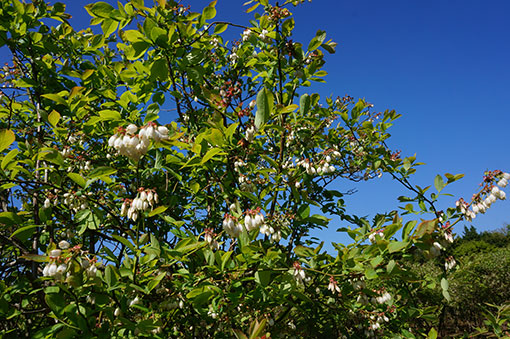 2016ブルーベリーの花