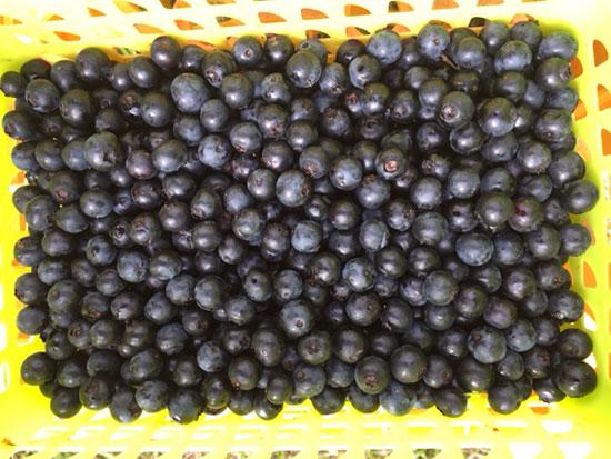20160722 ブルーベリー収穫