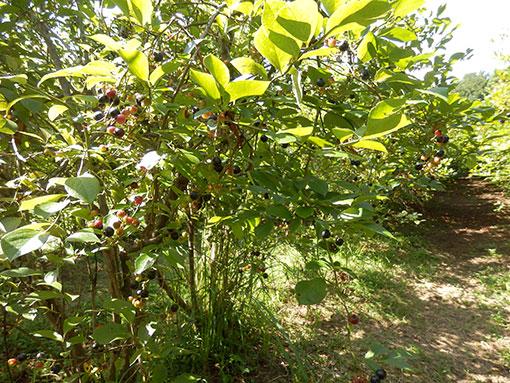 20160801 ブルーベリー収穫