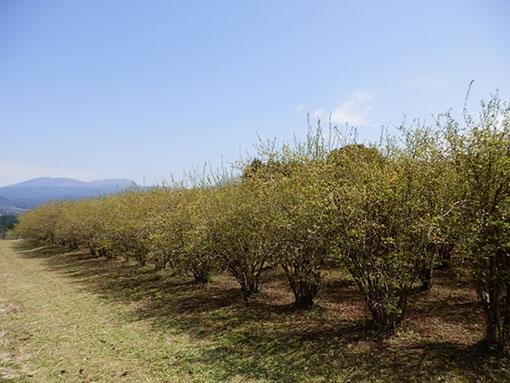霧島連山を望むブルーベリー畑