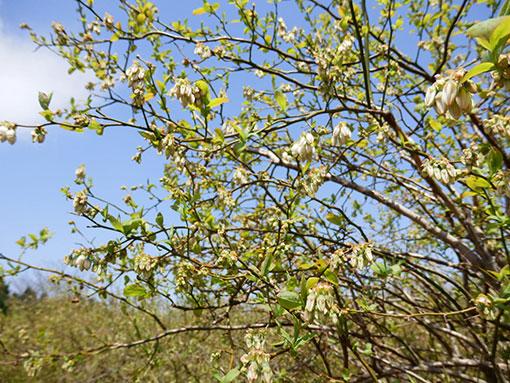 ブルーベリーの花 つぼみ