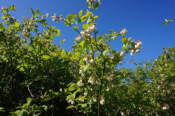 ブルーベリーの花 満開