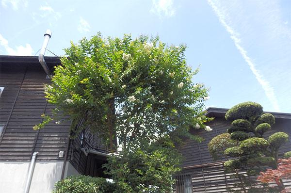 2016 8月 サルスベリ 霧島町蒸留所