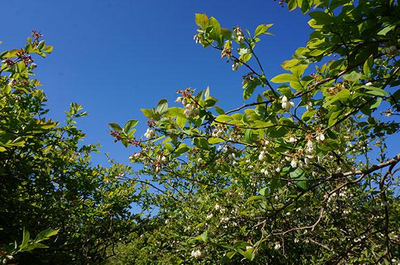 明るい農村 ブルーベリー 花