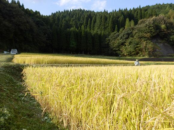 明るい農村 稲刈