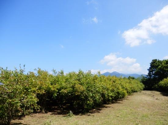 霧島連山を望む、ブルーベリー畑。明るい農村