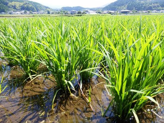 明るい農村 稲の成長