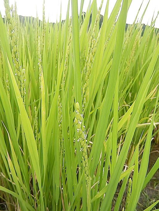 明るい農村 米づくり 出穂 花