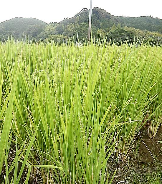 明るい農村 米づくり 出穂
