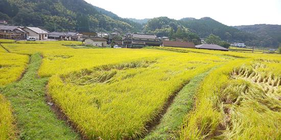 農業法人明るい農村 稲刈り前 台風で稲が一部倒れました