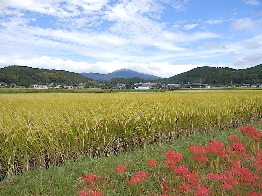 明るい農村の田んぼ。そろそろ稲刈り。