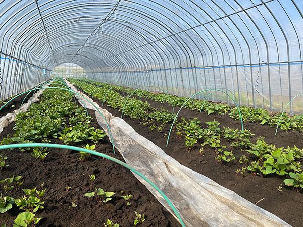 明るい農村 農業法人 2021 さつまいも