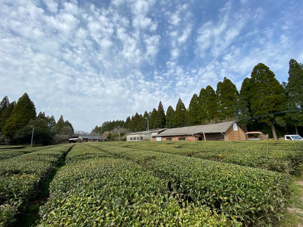 芋焼酎明るい農村と霧島茶やぶきたを組み合わせた、お茶焼酎やぶきたの原料となる霧島茶の茶畑。
